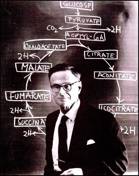 sir hans adolf krebs contributions ciencias de joseleg 191 qui 233 n es krebs