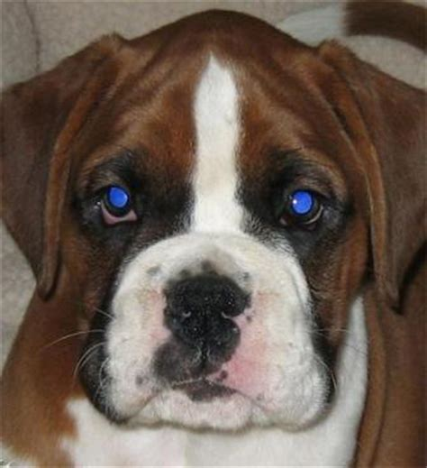 are all puppies born with blue dogs breeds with blue list with pictures pets world