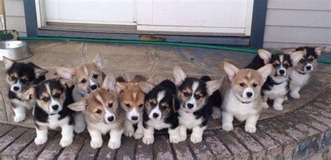 how many corgis does the the 22 most important corgis of 2015