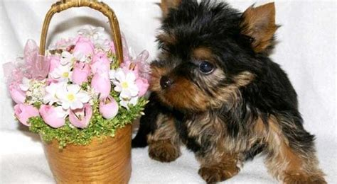 how big do teacup yorkies get yorkie growth chart how big do yorkies get yorkiemag