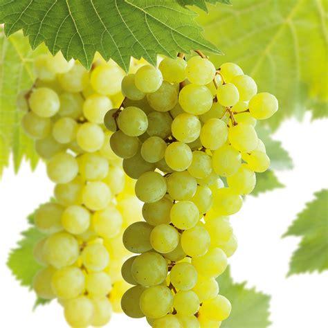Trellis Menu Vitis Vinifera Muscat Of Alexandria Grape Muscat