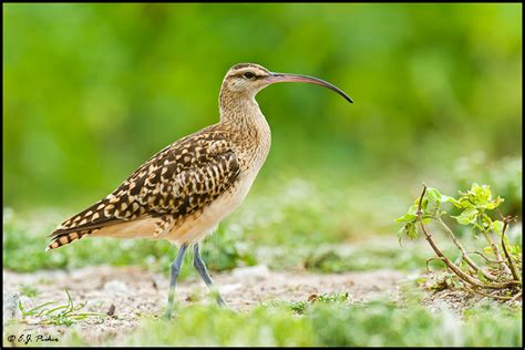 bristle thighed curlew page