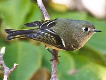 ruby crowned kinglet, identification, all about birds