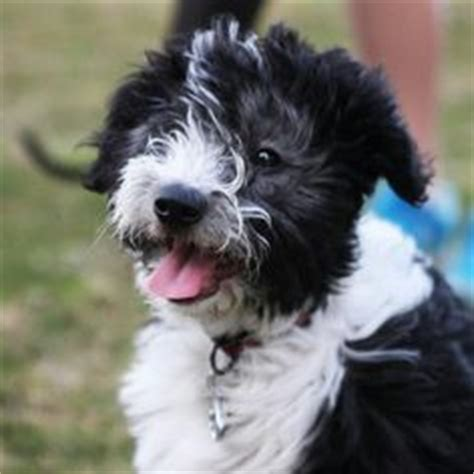 border doodle puppies for sale bordoodle border collie poodle cross this will be my
