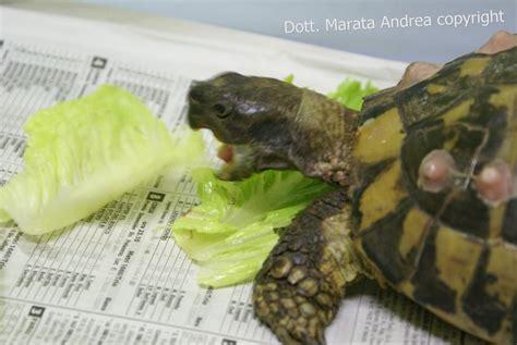 tartarughe da terra alimentazione alimentazione delle tartarughe terrestri animal salus