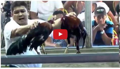 Sabong Derby 2016 | show people are awesome 2016 cockfighting derby 2015