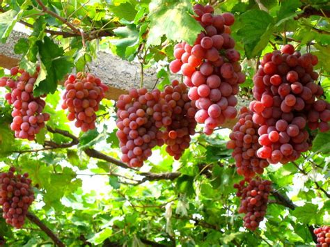 Grape Garden by Picking Grapes In Ninh Thuan Asia Tourist