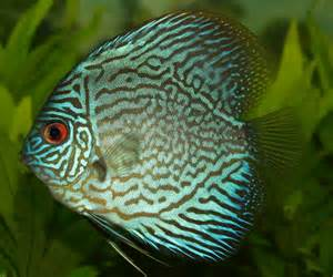 Freshwater Fish Domain Photos And Images Discus Fish Of The Genus