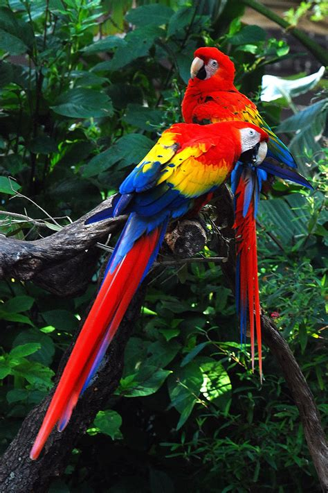 bird directory scarlet macaw parrot picture