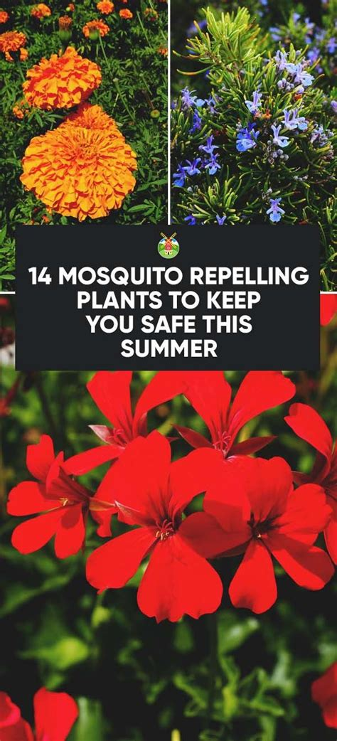 plants that keep mosquitoes away 25 best ideas about mosquito repelling plants on