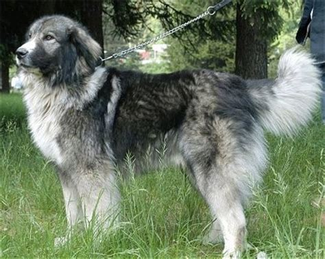 carpathian shepherd carpathian sheepdog breed information and pictures