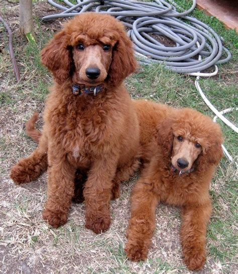 poodle with plain hair cut 242 best images about poodle on pinterest french poodles