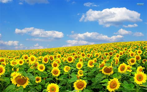 sunflower fields sunflower fields landscape wallpaper hd desktop background