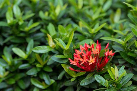 piante da siepe in vaso ixora coccinea pianta da siepe pollicegreen