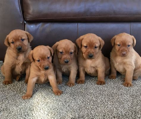 chocolate lab puppies for sale mn labrador breeders in northern mn breeds picture