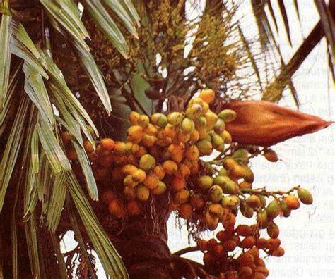 khasiat buah pinang untuk kesehatan tubuh tanaman obat
