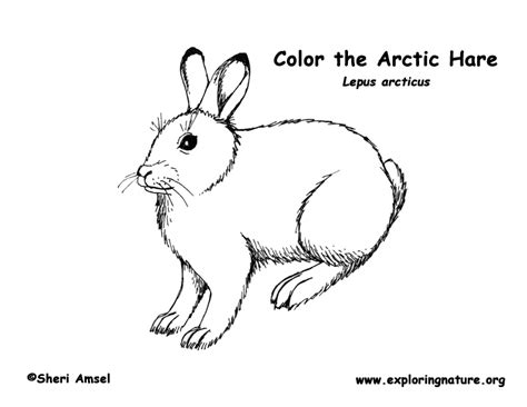 arctic hare coloring page az coloring pages arctic hare coloring sheet coloring pages