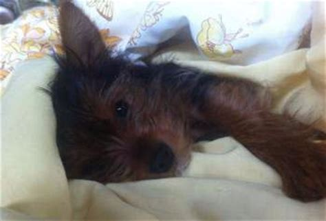 yorkie sleeping yorkie sleep information normal requirement and habits