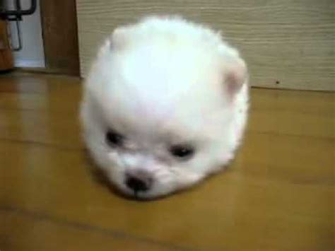 fluffiest dogs the most cutest and fluffiest