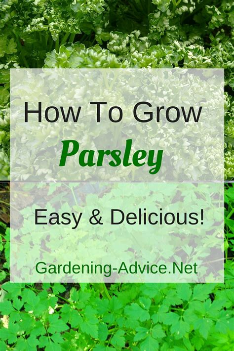 how to grow a herb garden growing parsley how to grow this versatile herb indoors