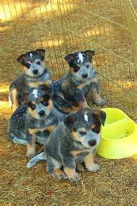 Blue heeler puppies for sale ram sheep