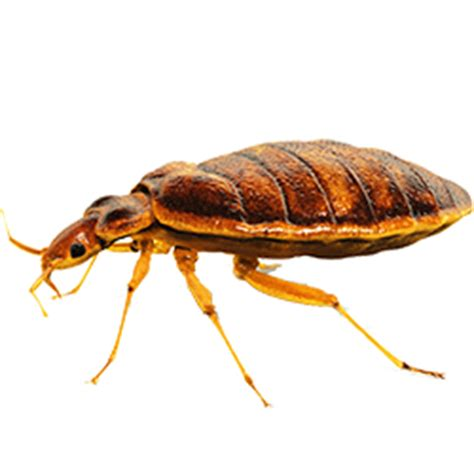 bed bug drug bed bug treatment by panic pest control