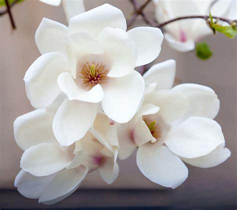 magnolia trees blossom  spring  lightorialist