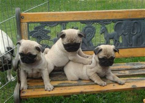 pug breeders vancouver pug puppies for sale