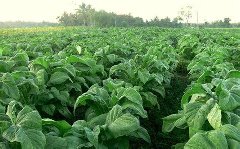 Bibit Belut Klaten garisanku mengenal budidaya tanaman tembakau