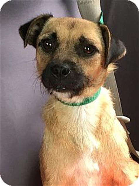 pug adoption wisconsin fort atkinson wi terrier unknown type small pug mix meet a for adoption