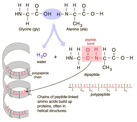 protein vs polypeptide mrsmithscience digestion