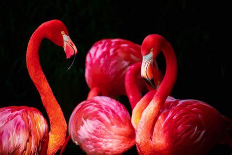 flamingo wallpaper nyc free stock photos of flamingo 183 pexels