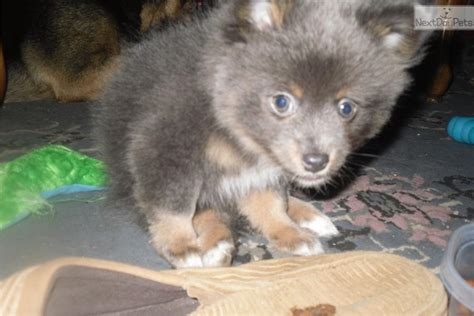 pomchi puppies for sale near me pomchi puppy for sale near albany new york 359f2d2f d101
