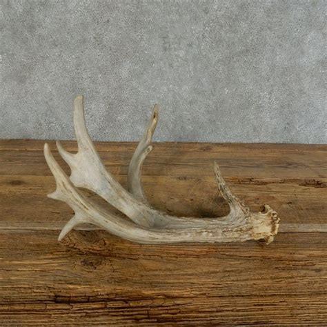 whitetail deer antler shed for sale 16151 the taxidermy