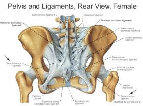 pelvic area pictures bones and ligaments of the female pelvis
