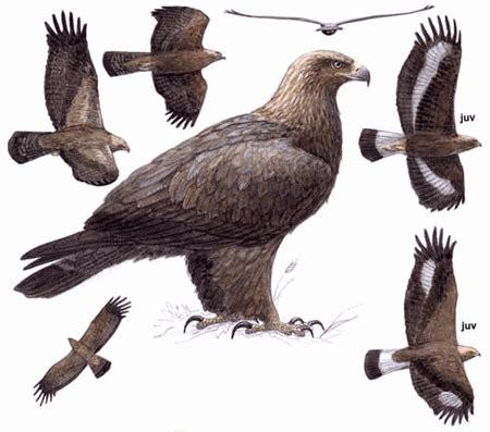 golden eagle (aquila chrysaetos) all raptors