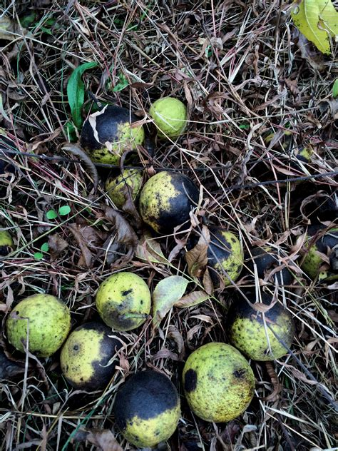 are acorns poisonous to dogs fall dangers pittsburgh