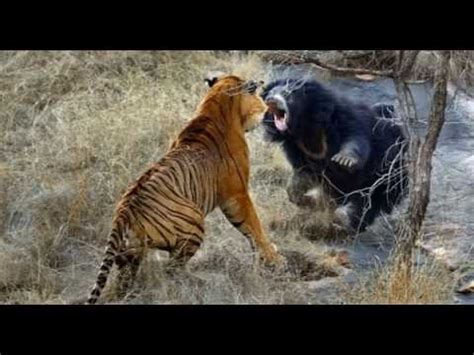 new year monkey for tigers monkey vs tiger animal fight