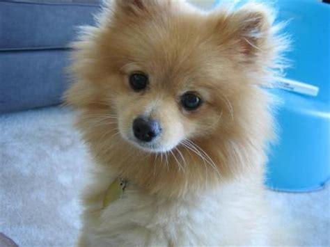 20 pound pomeranian cutest breeds of this world wanna adopt some pets world