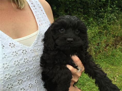 cavapoo puppies for sale in cavapoo puppies for sale llanelli carmarthenshire pets4homes