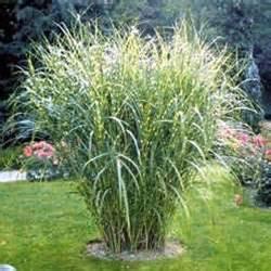 Miscanthus sinensis zebrinus from santa rosa gardens zebra grass