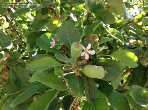 fruit tree identifier plant identification closed id this fruit tree 1