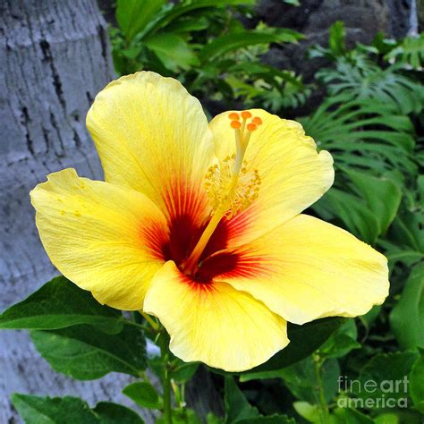 yellow hibiscus state flower of hawaii http wp me p1gkzp hawaiian hibiscus photograph by sue melvin