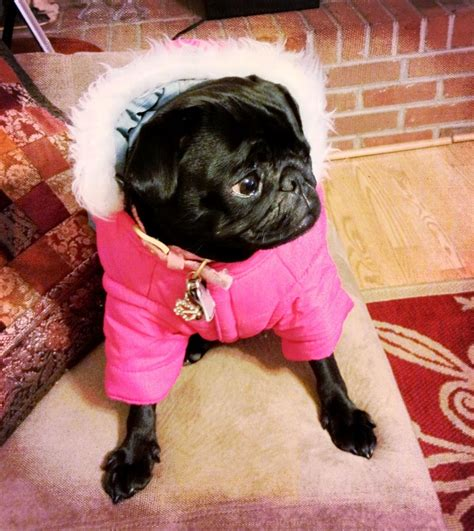 pug winter coat 17 best images about sweaters for your pets on land s end coats and