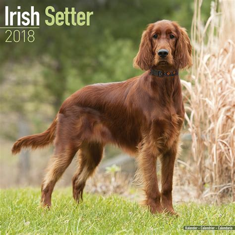 Irish Setter Calendar 2018 10046-18 | Irish Setter | Dog ...