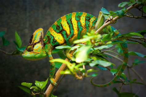 veiled chameleon changing colors veiled chameleon facts and pictures reptile fact