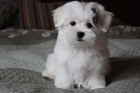 maltese puppies for sale in colorado last beautiful 700 today wisbech cambridgeshire pets4homes