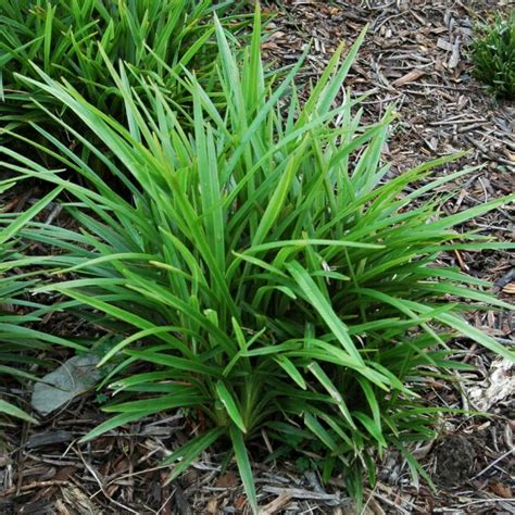 little plants native flax dianella caerulea little jess