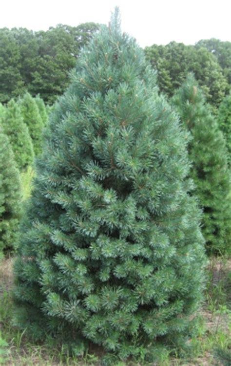 what type of christmas tree lasts the longest tree varieties available tree types