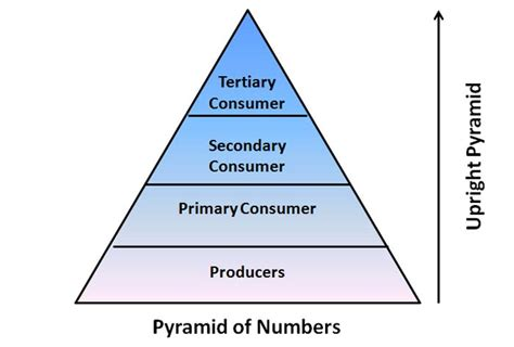 Inverted Living Ecological Pyramids Number Biomass Energy Pyramids